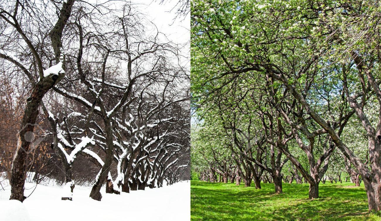 Bluhende Apfelplantage Und Den Gleichen Garten Im Winter In Der