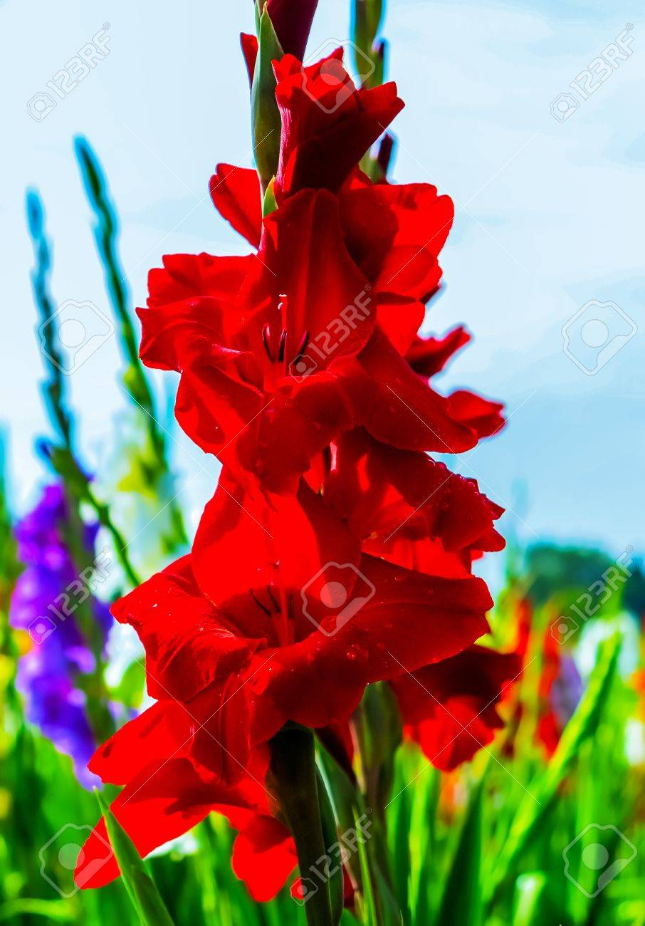 Red gladiolus flowers Stock Photo - 21786617