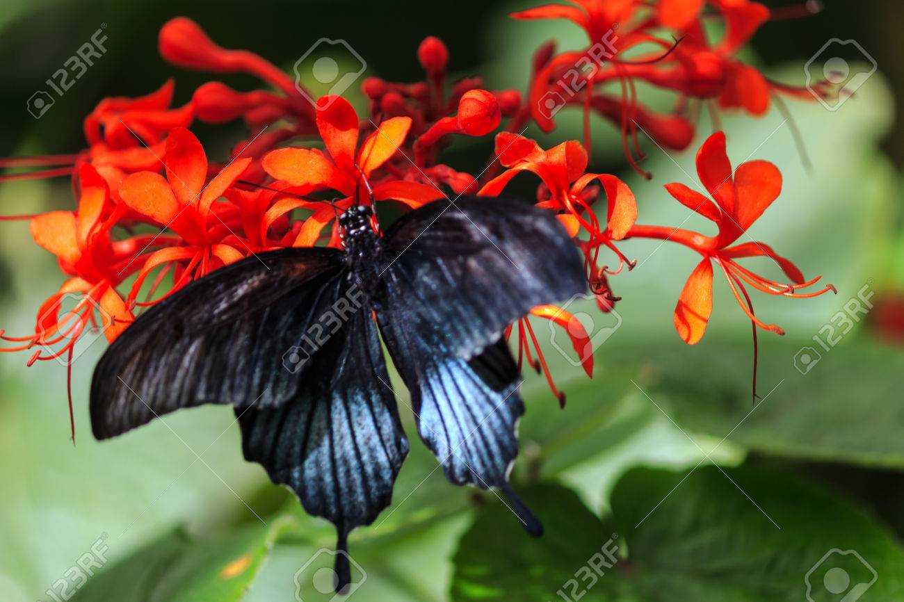 papilio memnon black butterfly on exotic red flowers stock photo, Natural flower