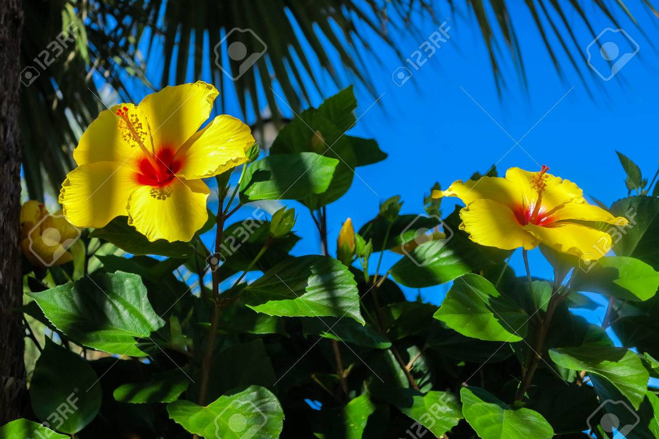 Yellow Hibiscus Flowers Under Palm Tree Stock Photo Picture And