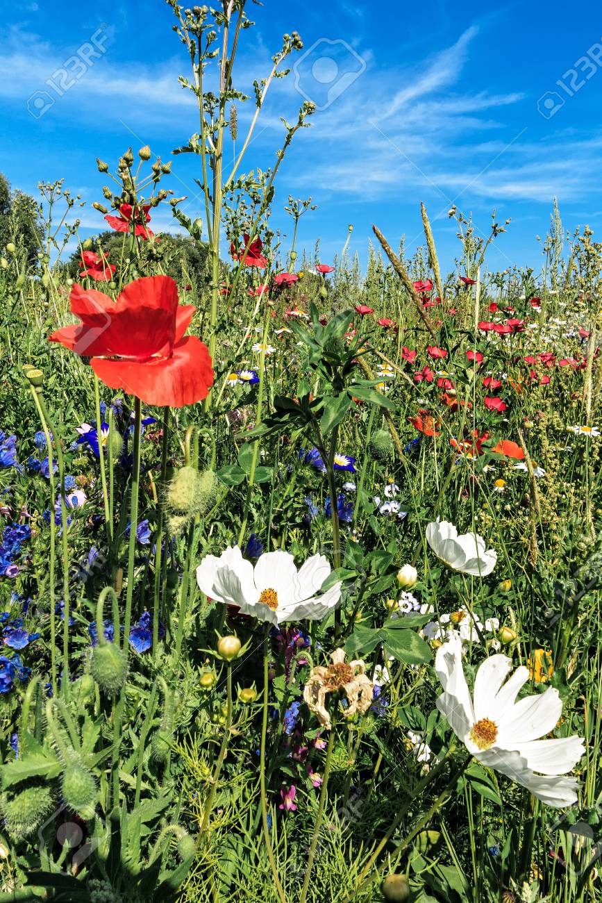 Meadow With Beautiful Wild Flowers Field Stock Photo Picture And Royalty Free Image Image 34787699