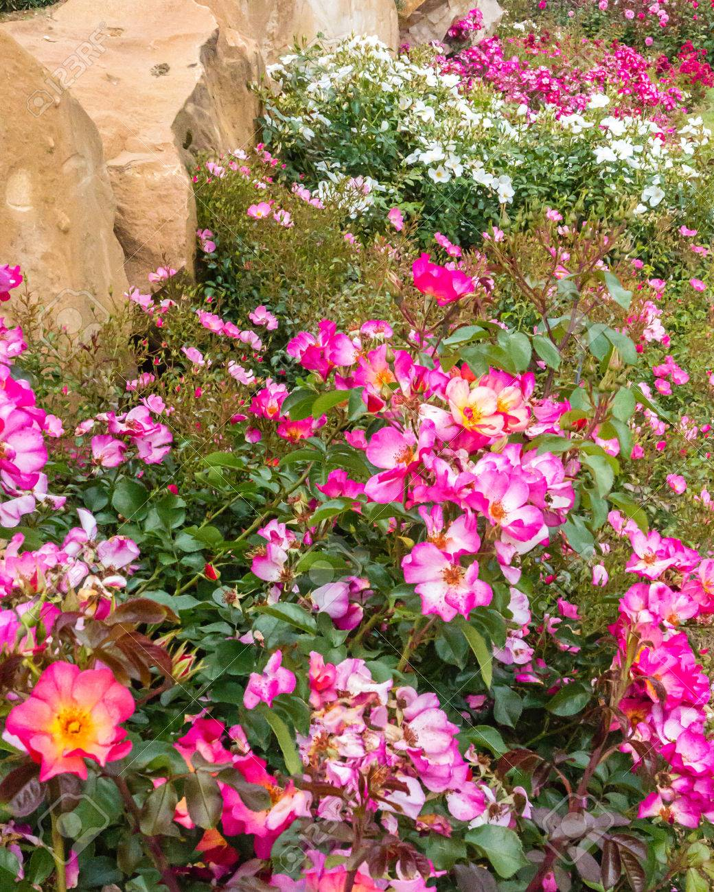 Carpet Of Pink And White Dwarf Roses In A Rose Garden Stock Photo