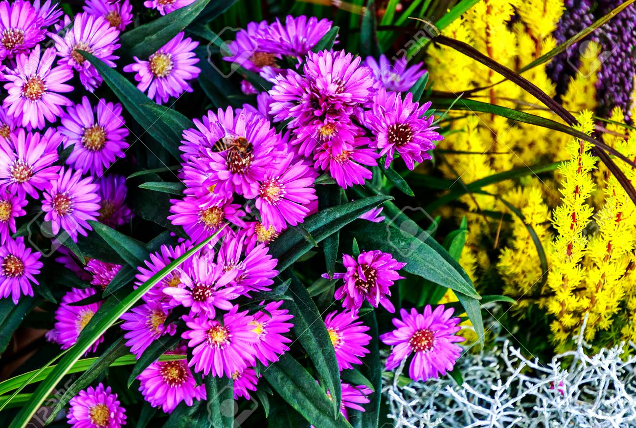 Purple autumnal daisy flowers aster and golden heather erica purple autumnal daisy flowers aster and golden heather erica carnea stock photo izmirmasajfo Image collections