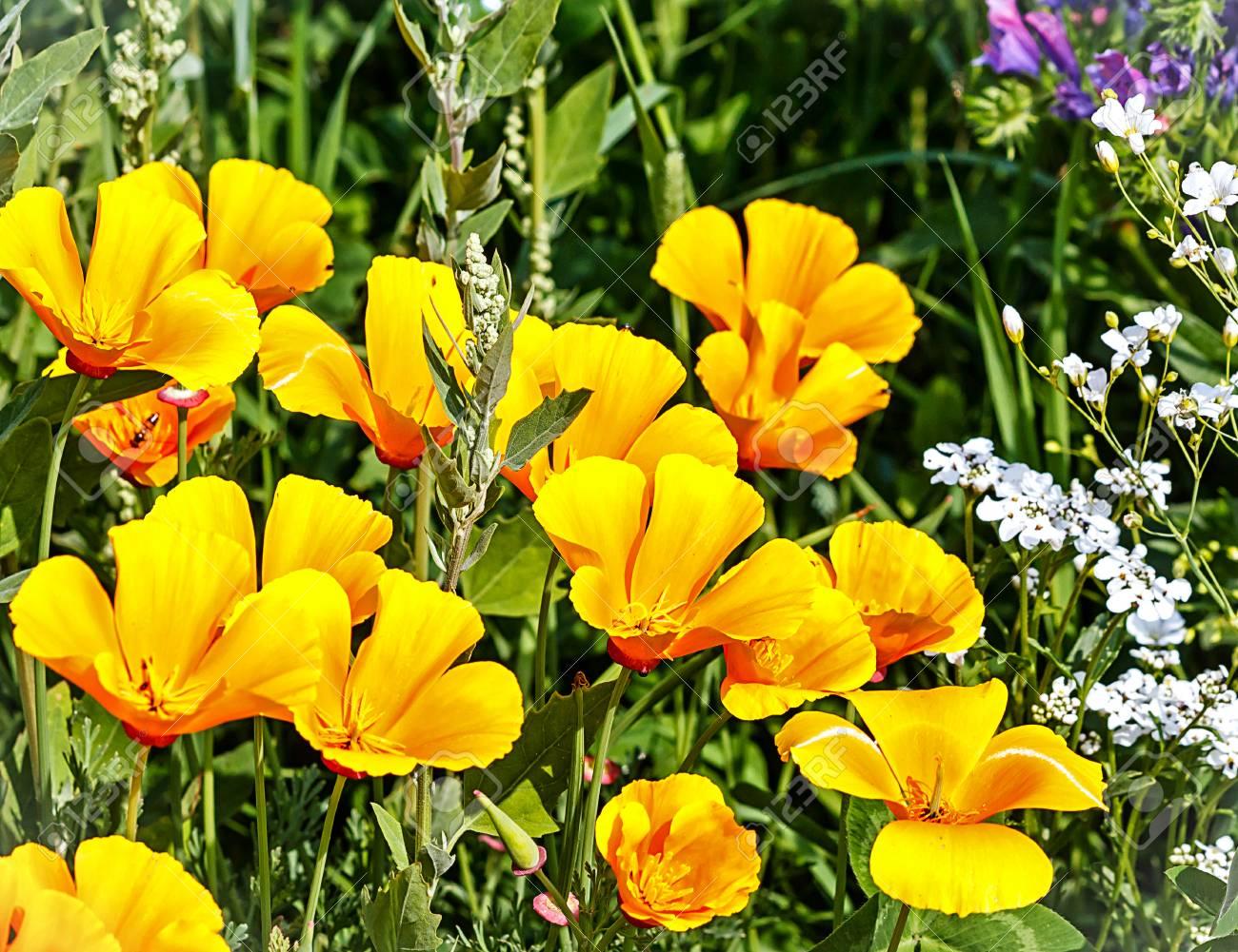 Bright Shiny Yellow Poppy Flowers Of Eschscholzia Glyptosperma
