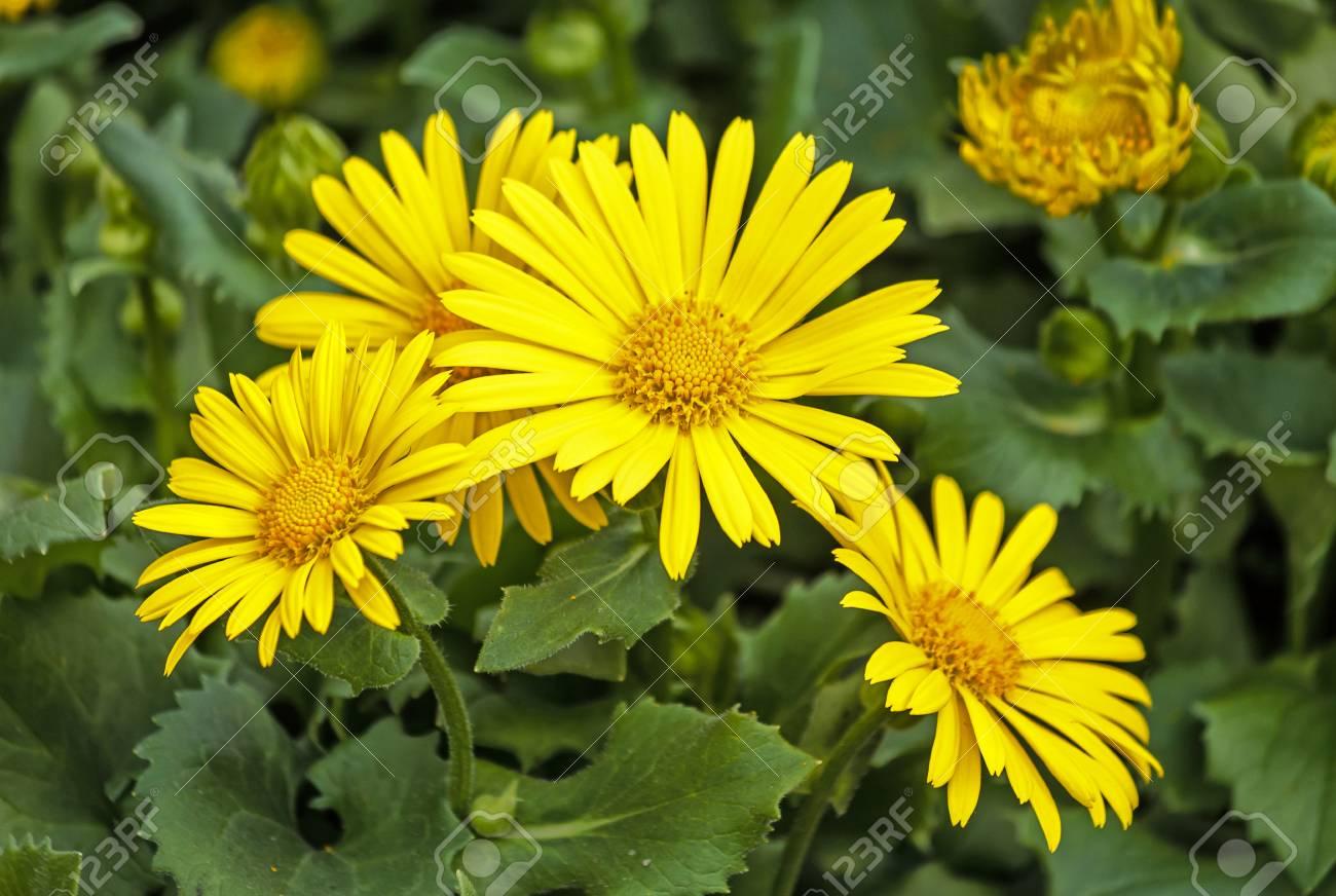 Doronicum Orientale Sparkling Yellow Daisy Like Flowers In