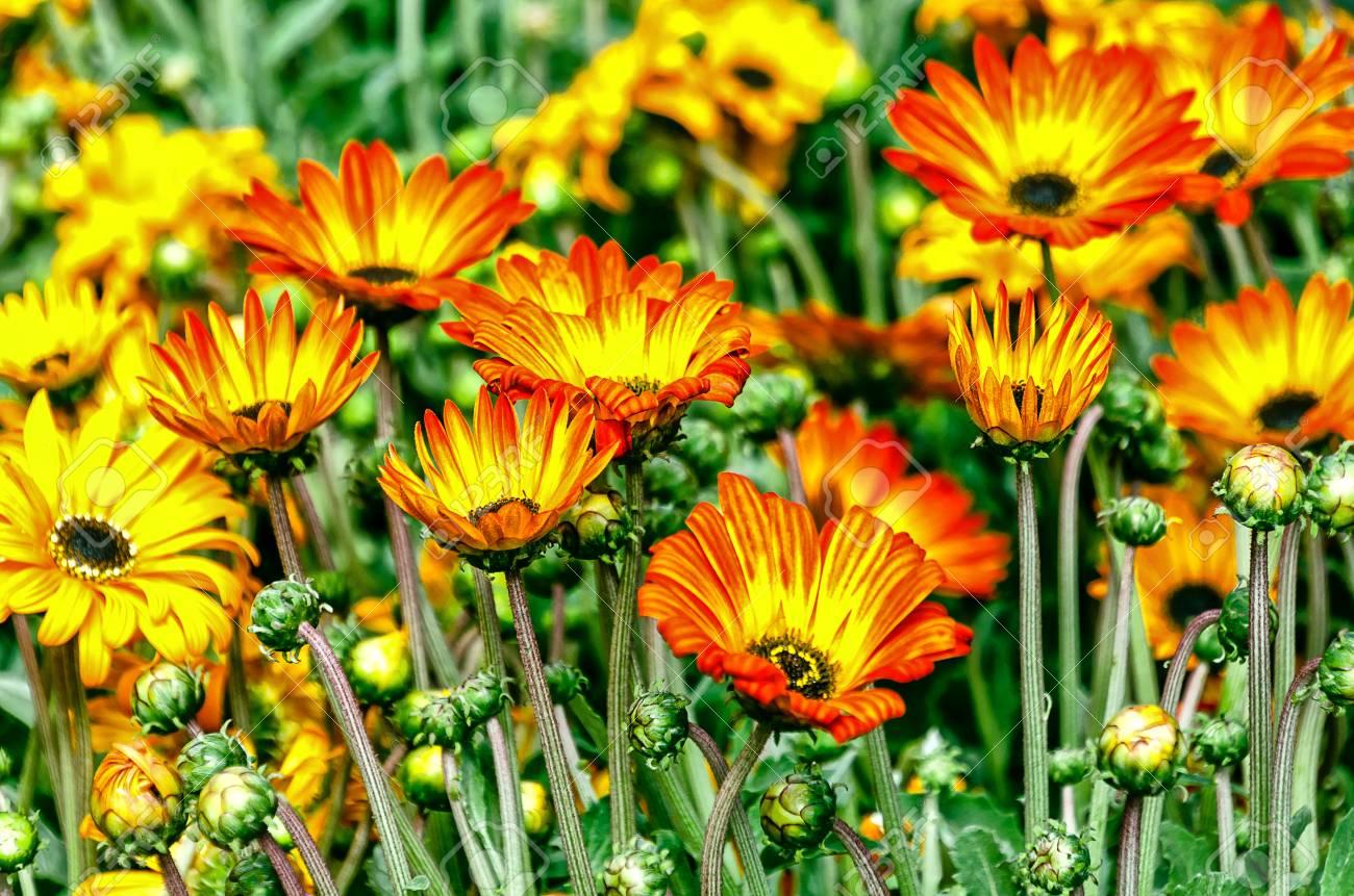 African daisies arctotis exhibiting brightly colored daisy like african daisies arctotis exhibiting brightly colored daisy like flowers background stock photo izmirmasajfo