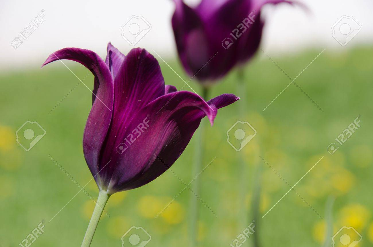 Group Purple lily on a bed Stock Photo - 20298709