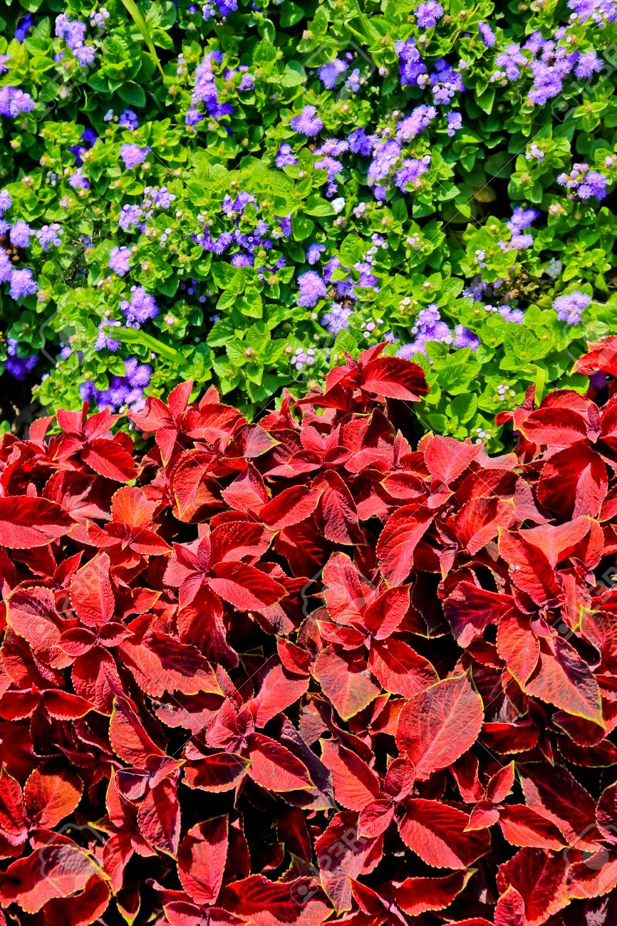 Flowers Purple Ageratum And Red Color Coleus Stock Photo, Picture ...