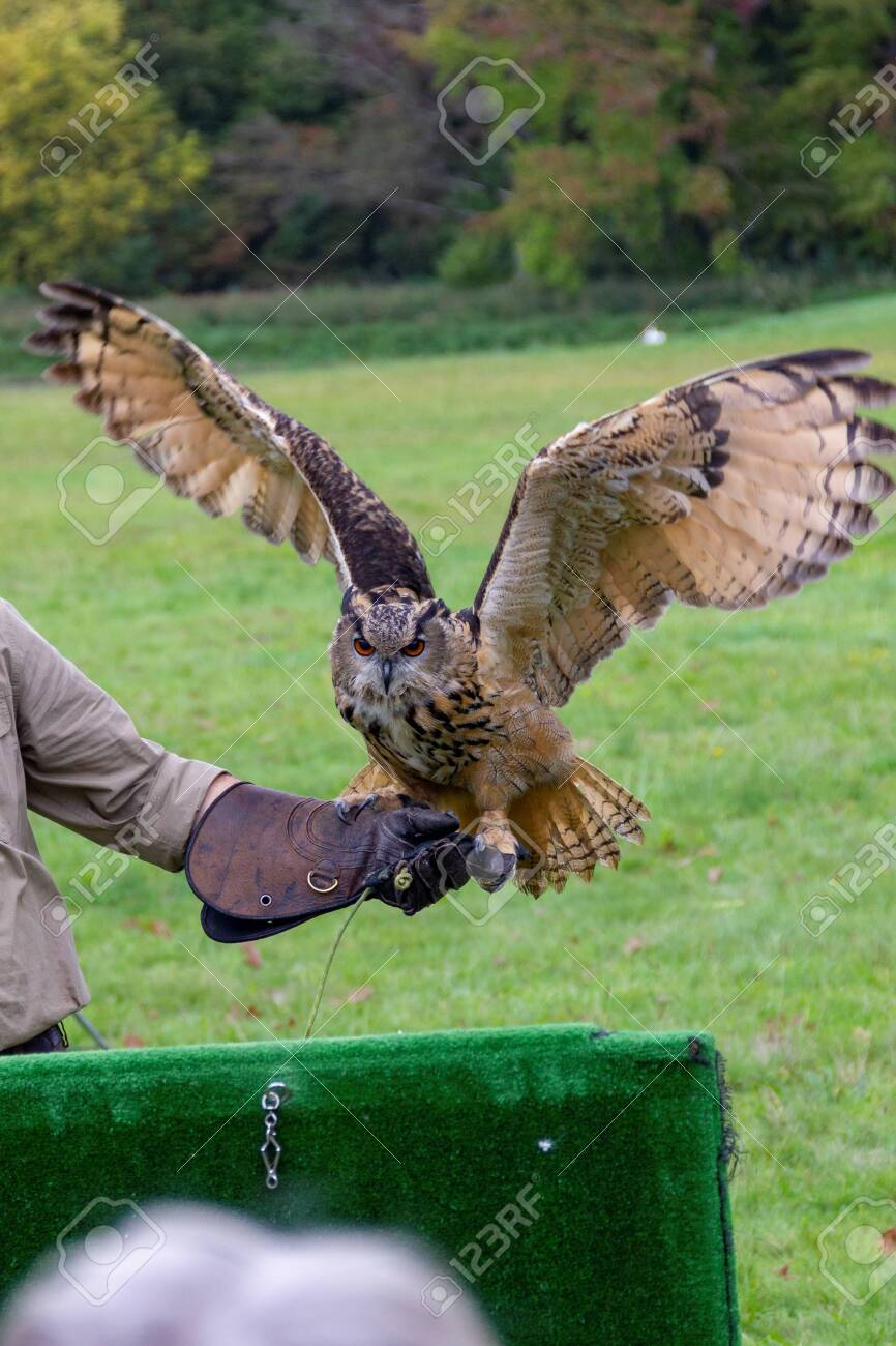 A portrait of a eurasian eagle-owl spreading its wings ready to fly away from the falconer holding it on a glove during a bird of prey show. - 152127681