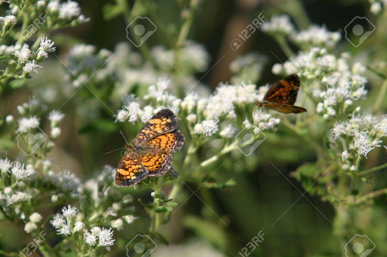 Two Butterflies On Weed With Small White Flowers Stock Photo