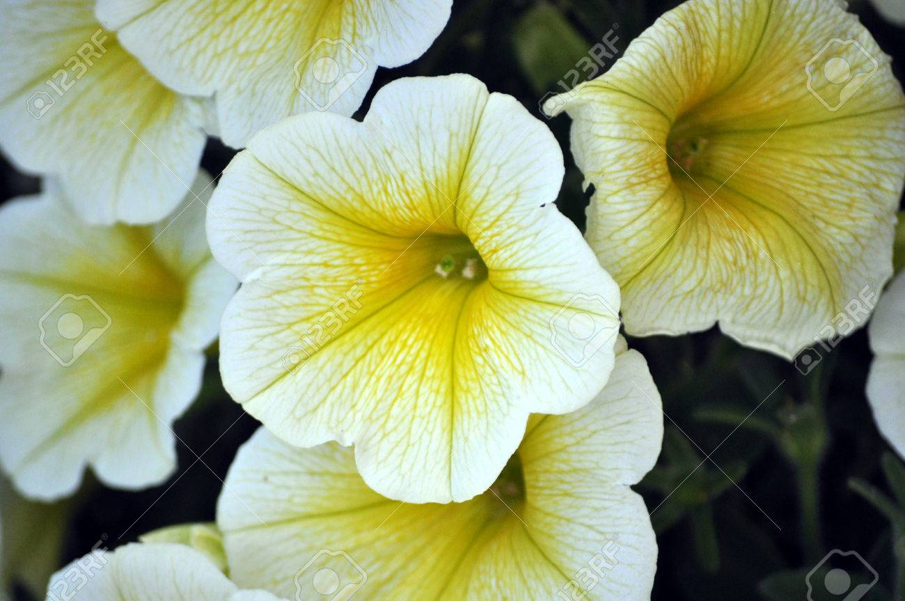 Yellow And White Petunia Flower Close Up Stock Photo Picture And