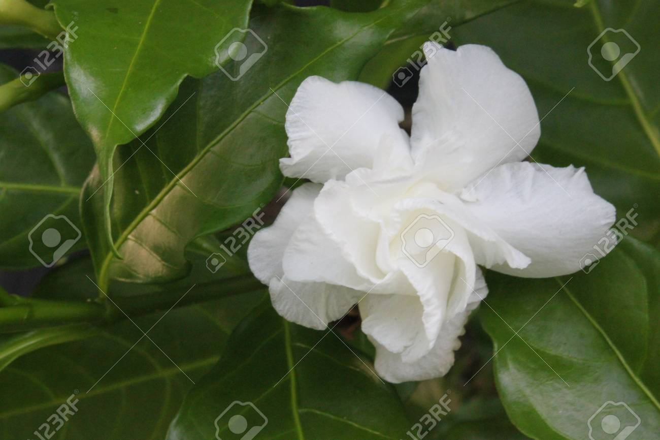 Crape Jasmine Evergreen Stock Photo Picture And Royalty Free Image
