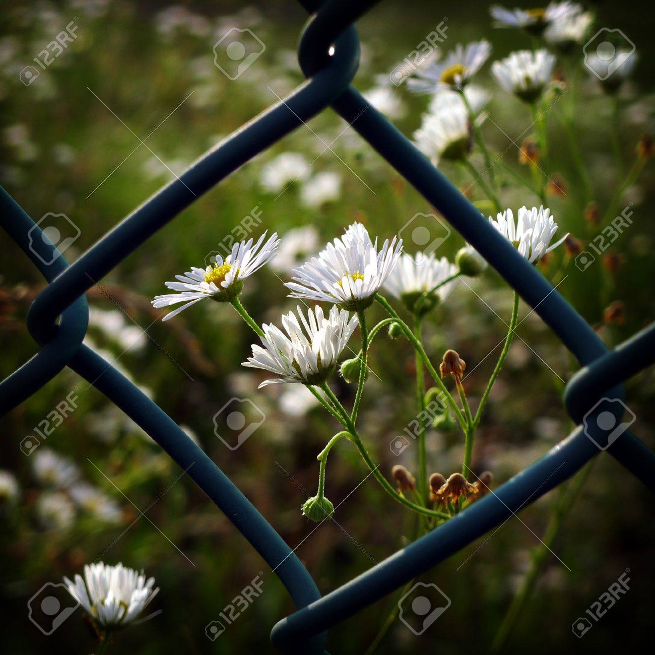 Tiny white flowers beyond the lattice fence stock photo picture tiny white flowers beyond the lattice fence stock photo 7379021 dhlflorist Image collections