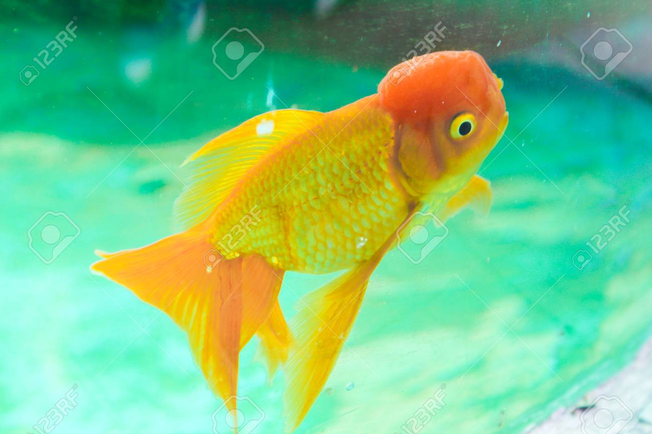 Red Goldfish In An Aquarium Stock Photo, Picture And Royalty Free ...