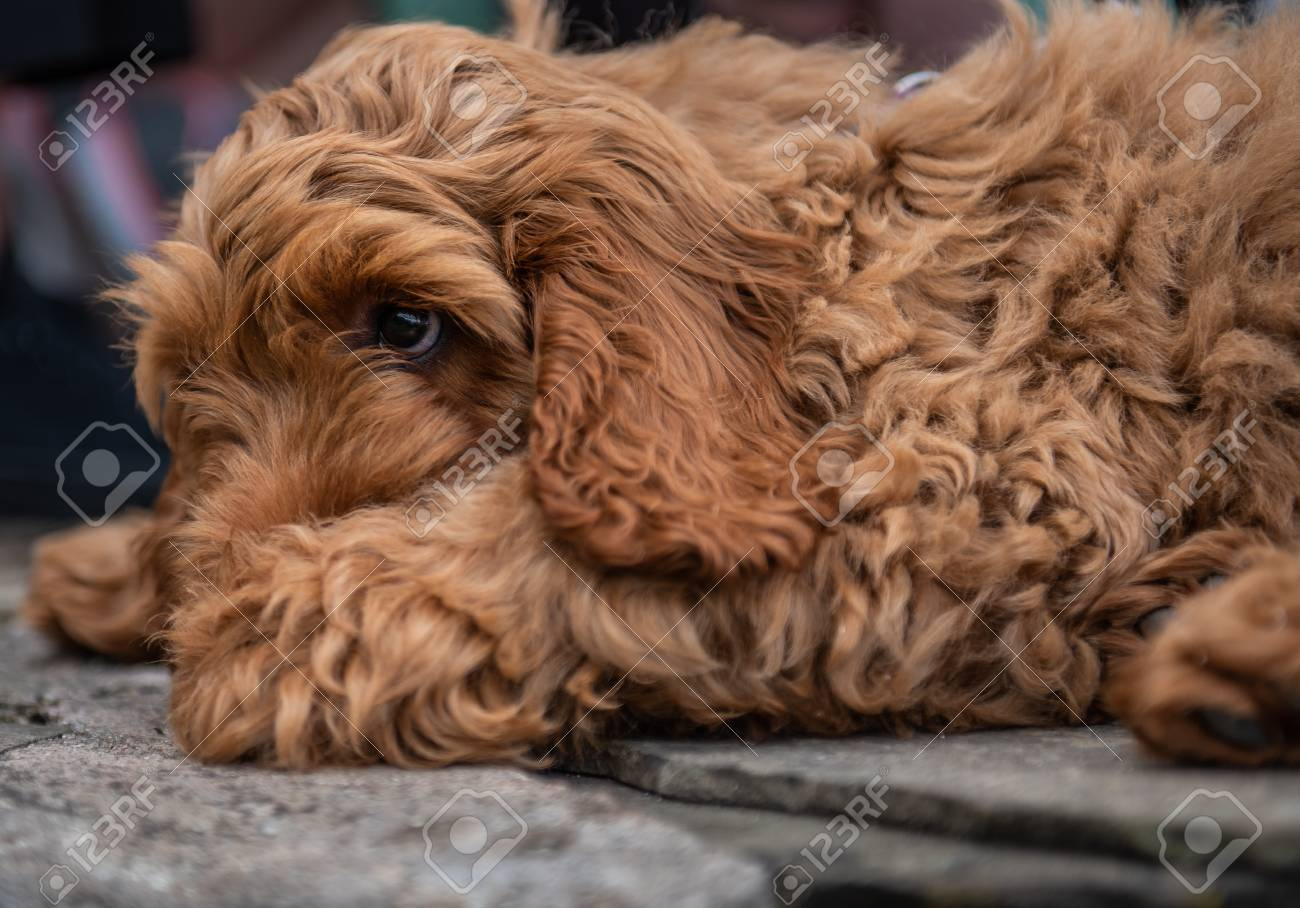 A Young Red Cockapoo Puppy Lying Relaxing On Paving In The Garden On A Sunny Day With A Watching Eye Of Activities Nearby Fotos Retratos Imagenes Y Fotografia De Archivo Libres De