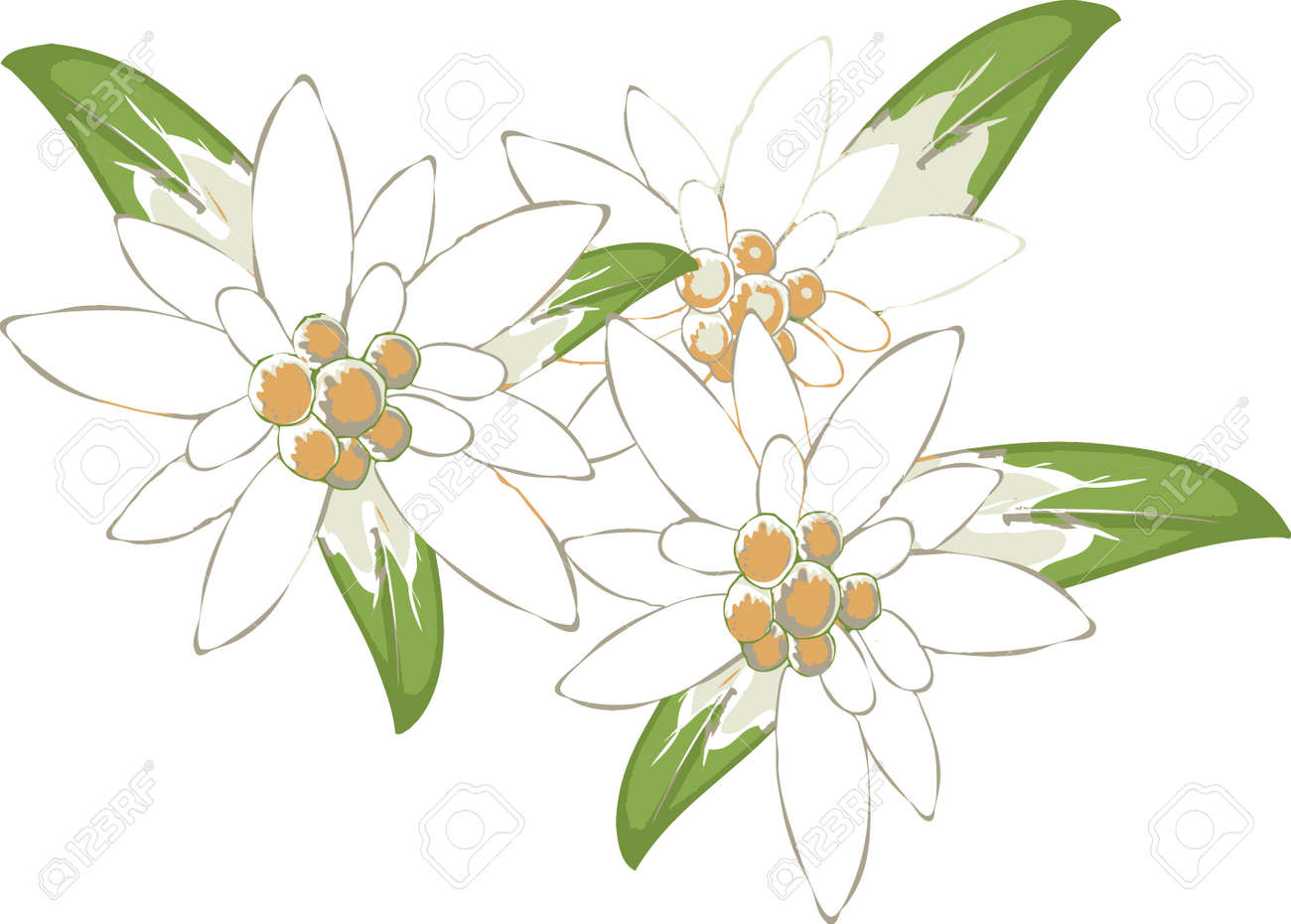 Popolare Edelweiss Royalty Free Cliparts, Vectors, And Stock Illustration  PN36