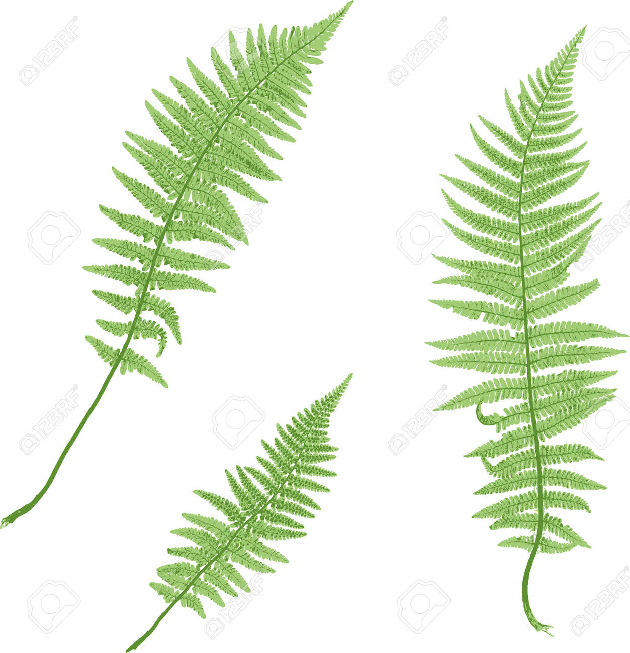 Fern isolated on white background. Stock Vector - 4540445