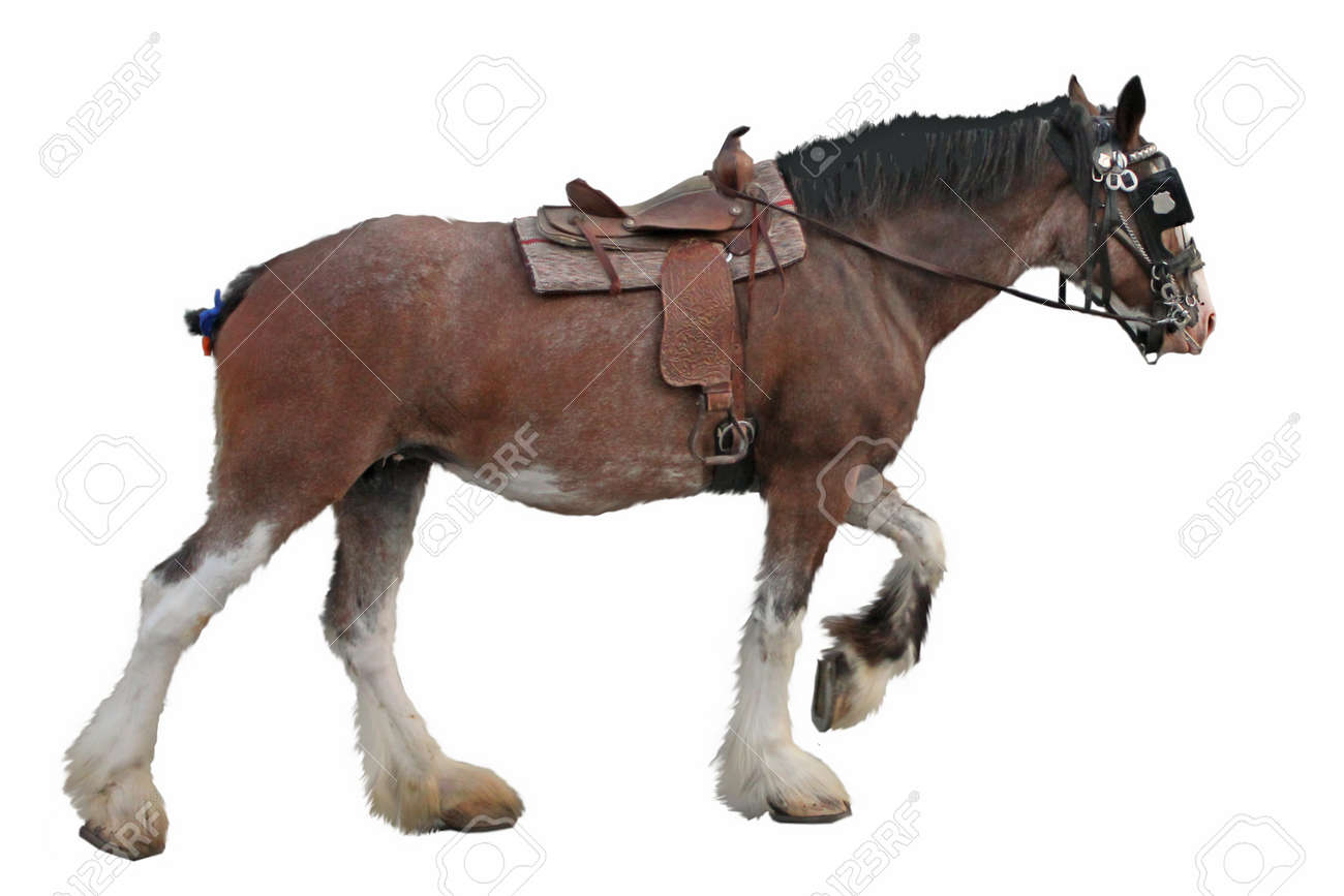Clydesdale Horse Isolated On White Background Stock Photo Picture And Royalty Free Image Image 10237381