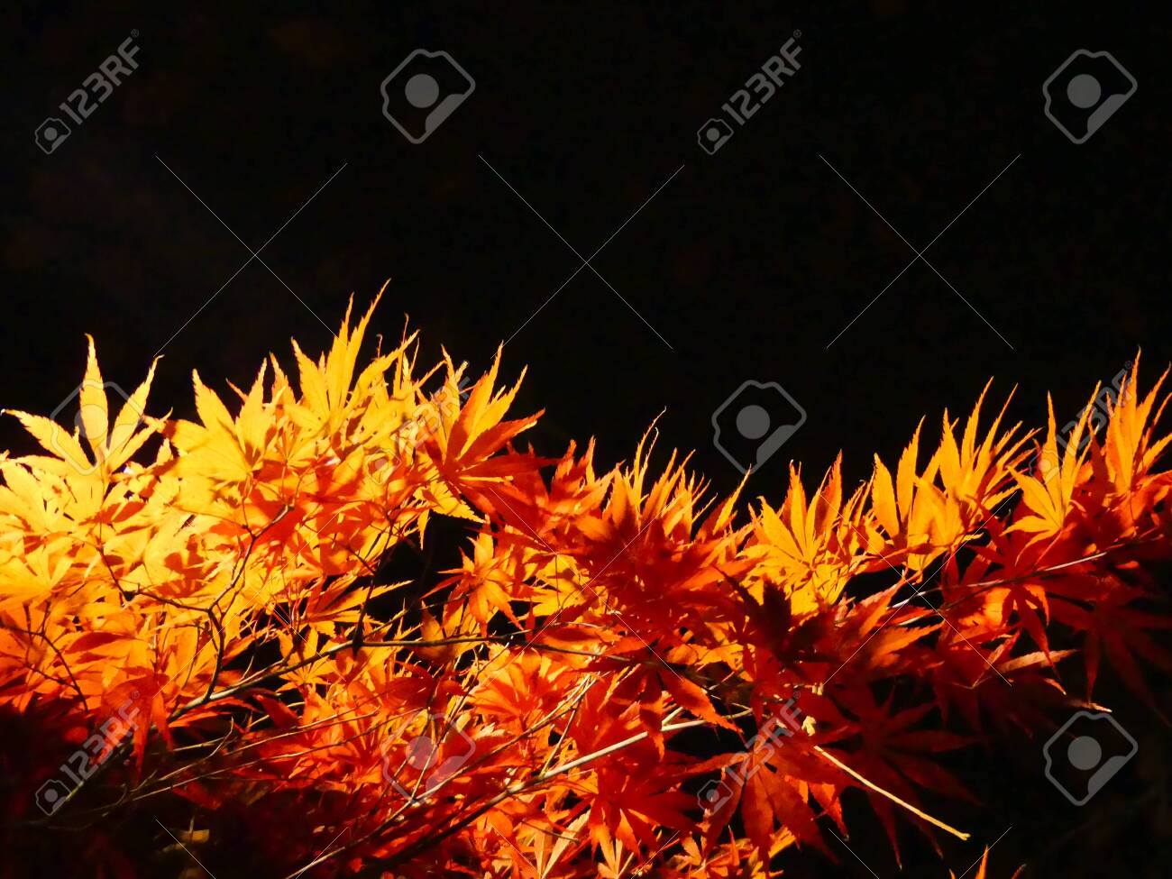 Orange Red Autumn Maple Leaves On Black Background Copy Space Stock Photo Picture And Royalty Free Image Image 122844499
