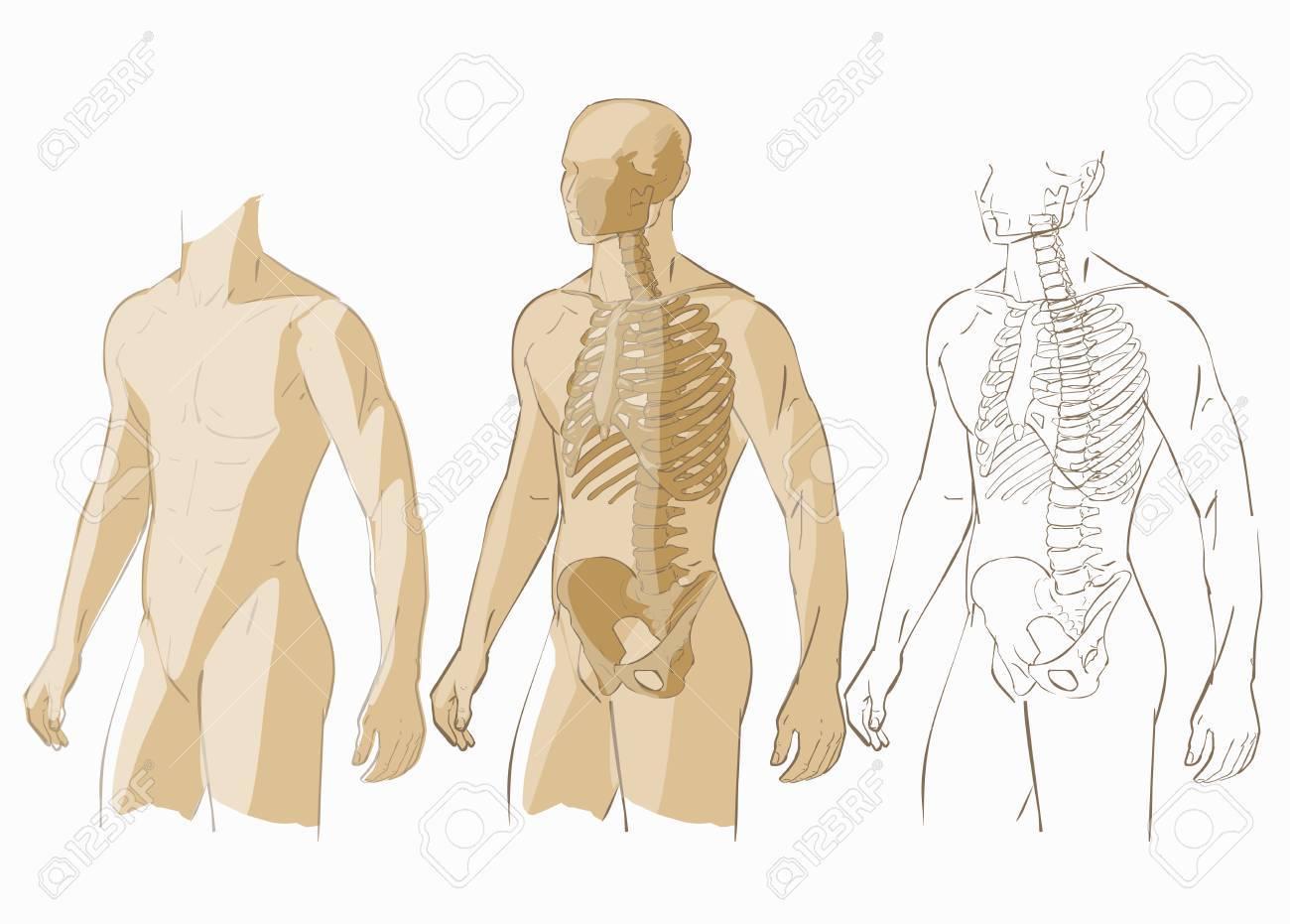 Aislado Partes Del Cuerpo Humano Hombre Esquelético Anatomía ...