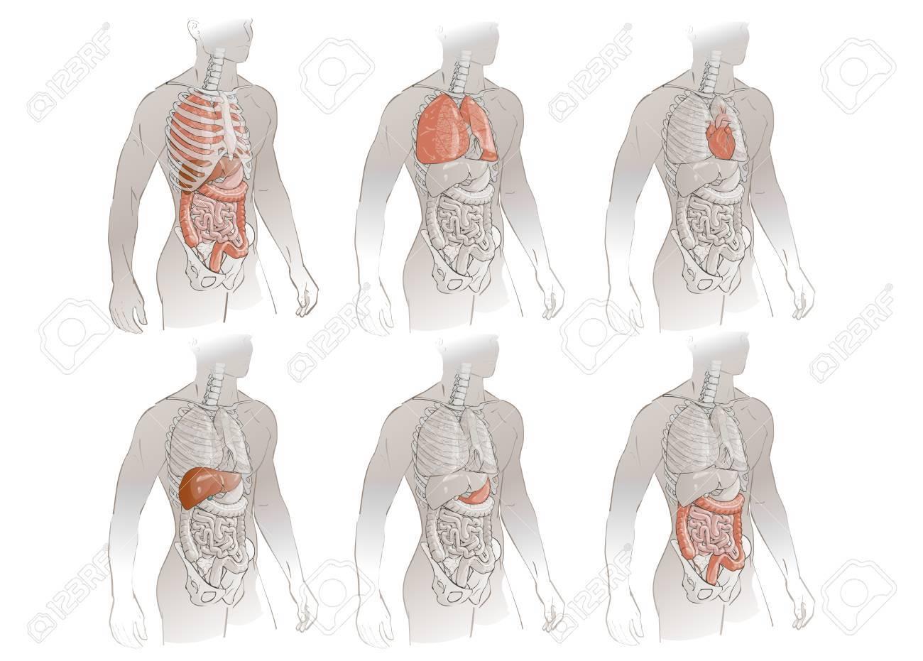 Abbildung Menschlichen Körper Anatomie Medizinisch Inneren Organe ...