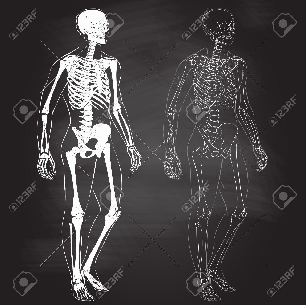 Human Body Parts Skeletal Man Anatomy Vector Illustration Chalk