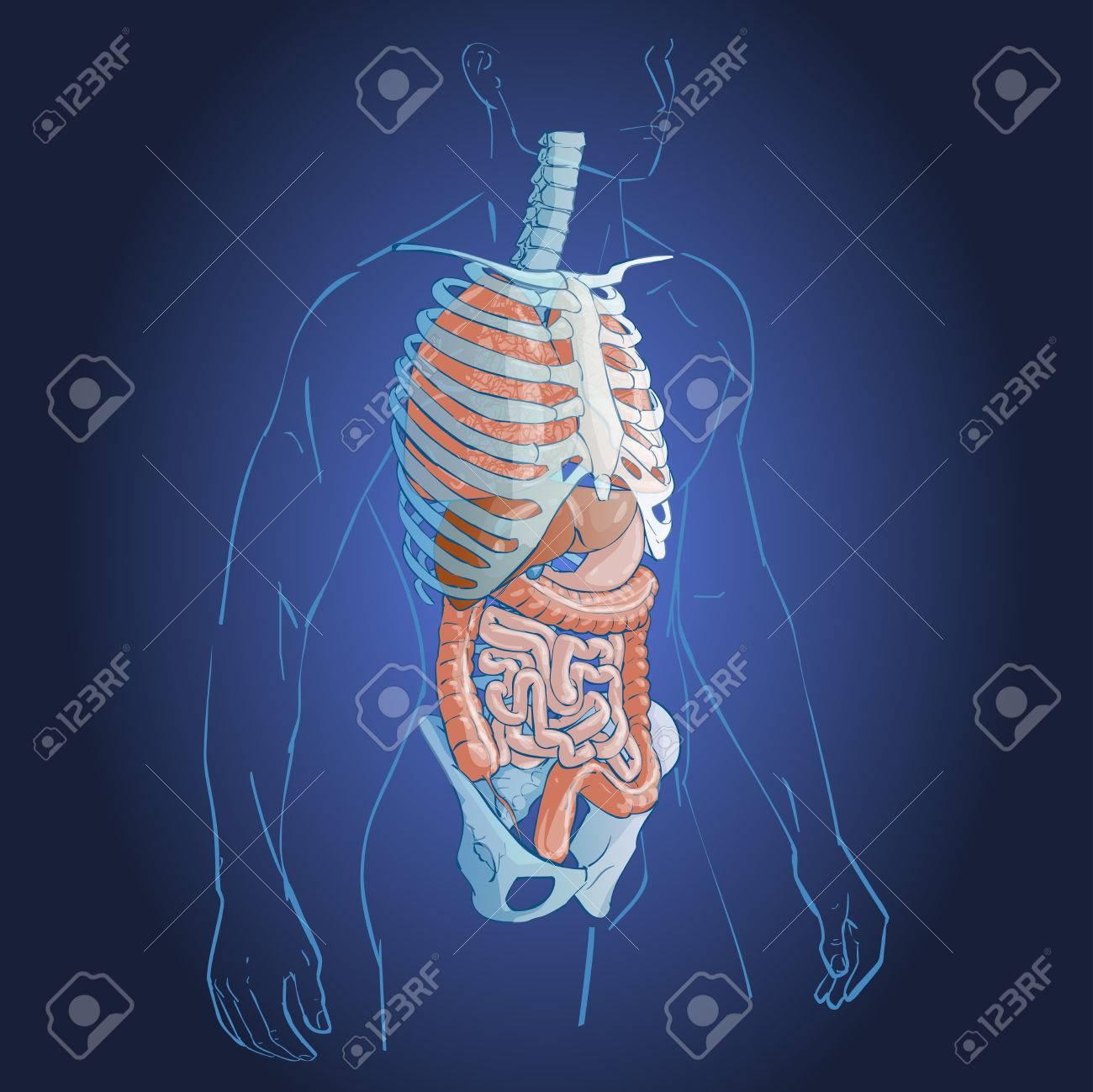 Médica Sistema De órganos Internos Anatomía Del Cuerpo Humano ...