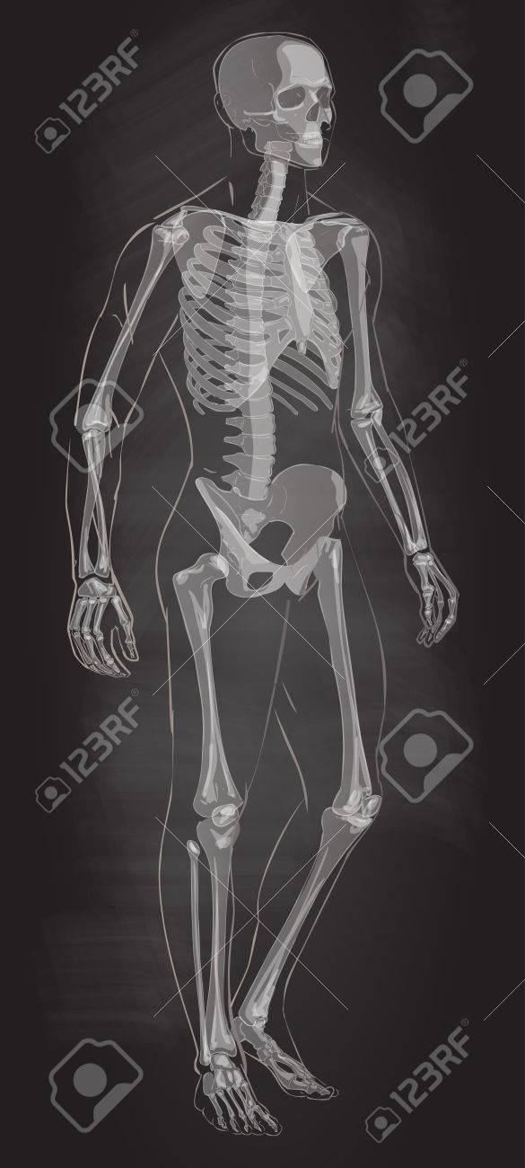 Man Skeletal Anatomy Vector Royalty Free Cliparts Vectors And
