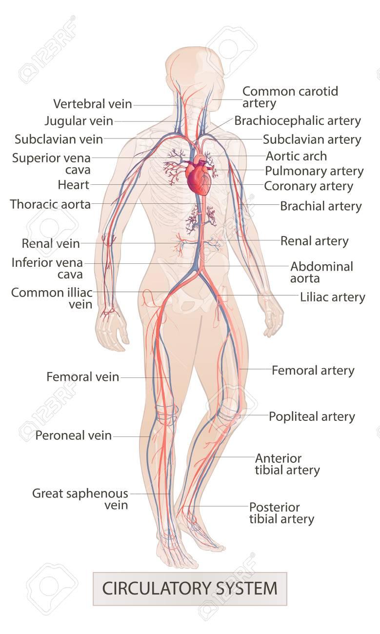 Human Body Parts Circulatory Vascular System Man Anatomy Hand