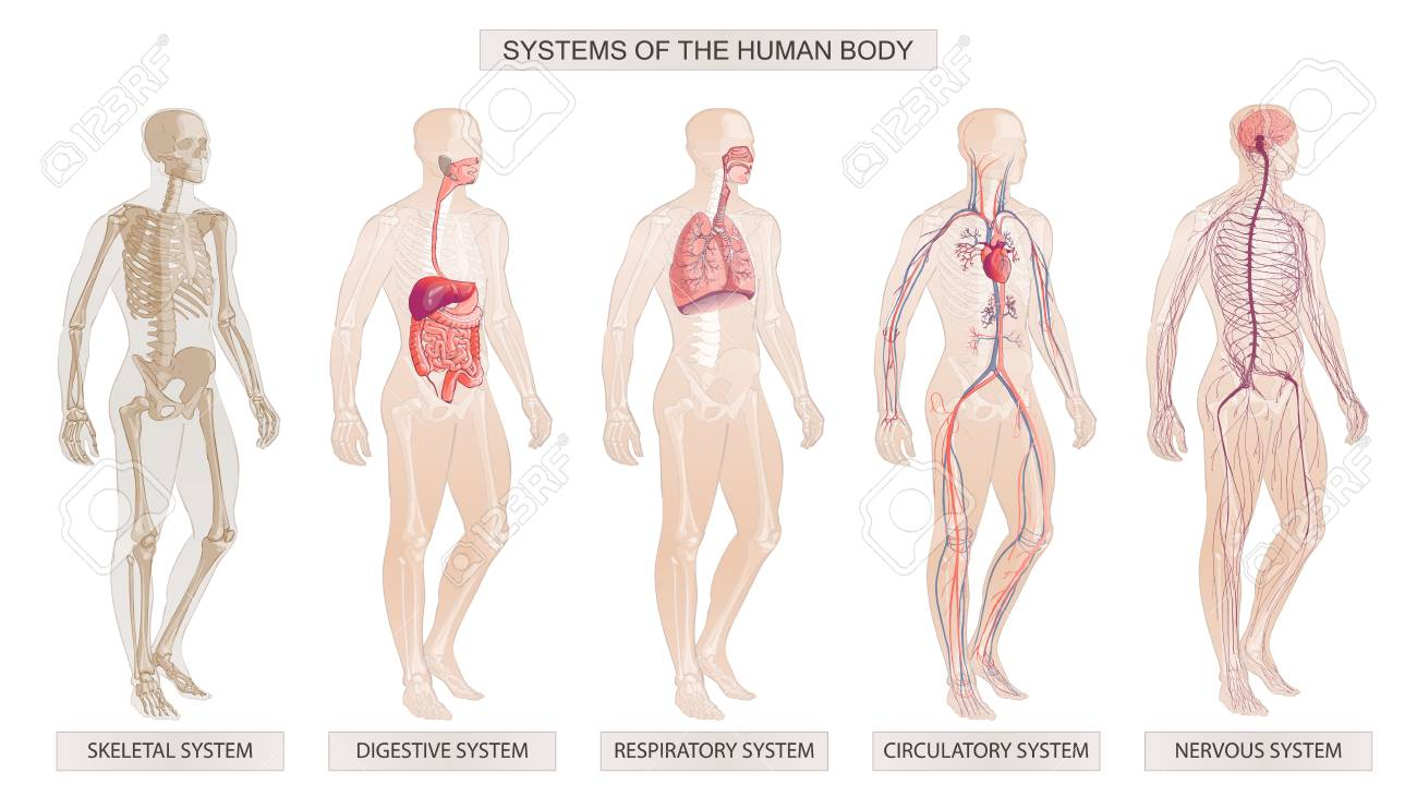 The vector illustration Human Body Systems Circulatory, Skeletal, Nervous, Digestive systems - 122206703