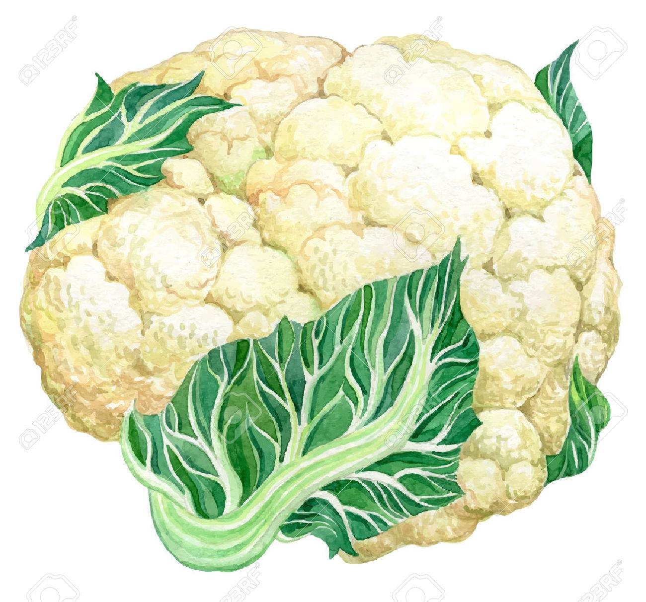 Cauliflower - Hand drawn watercolor painting vector illustration on white background - 51040286