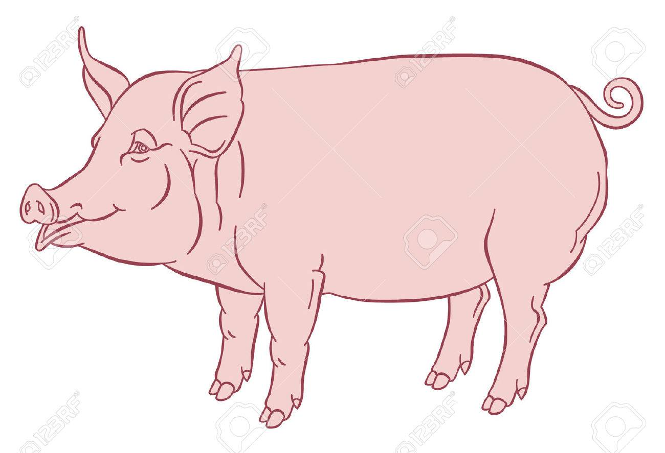 color hand drawing of domestic pig - vector illustration - 51174386