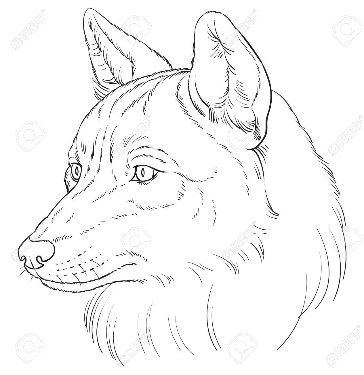 Illustration Tete Du Loup Dans Le Style Realiste Illustration