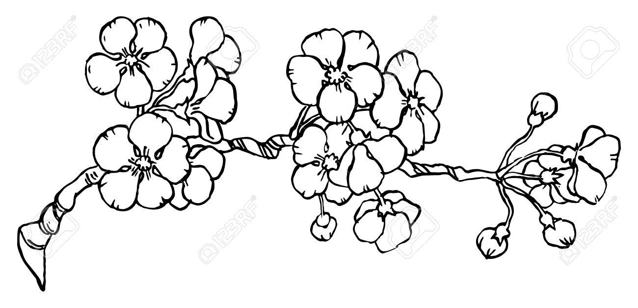 Cerisier Ou Japon Sakura Branche En Fleur Isole Sur Un Fond Blanc