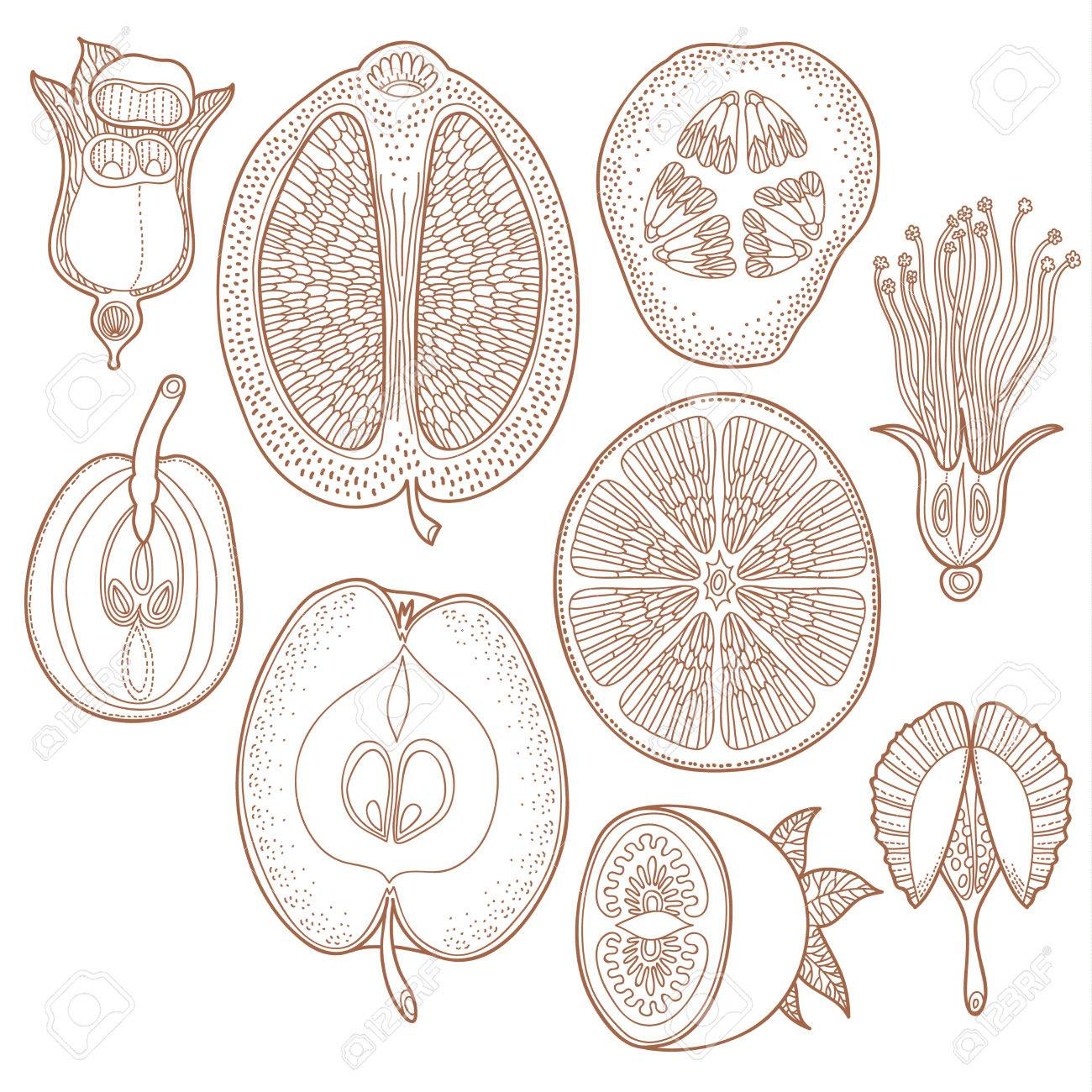 Vector collection of hand drawn vegetables fruit harvest or fruitage - Vector floral design elements. Graphic floral fruit seeds and plants in decorative style - 51758905