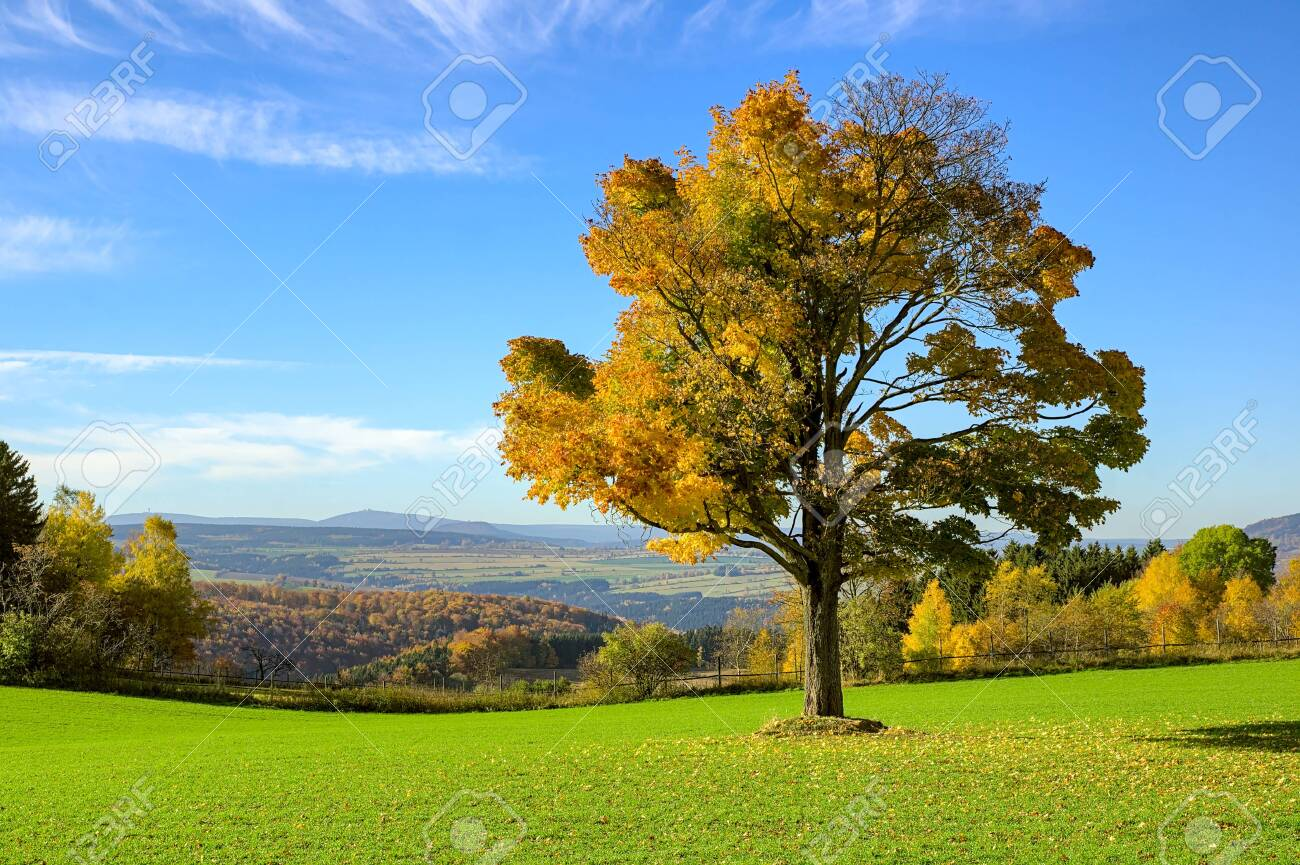 Single autumn tree on a meadow with blue colored mountain background at ore mountains germany - 154348845