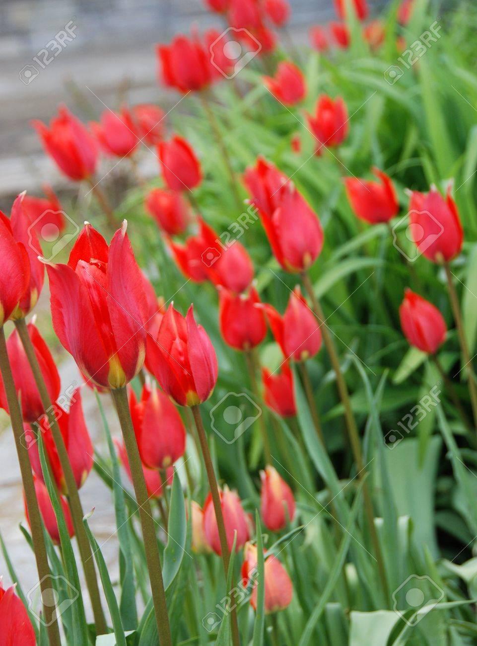 Garden of red tulips Stock Photo - 2231102