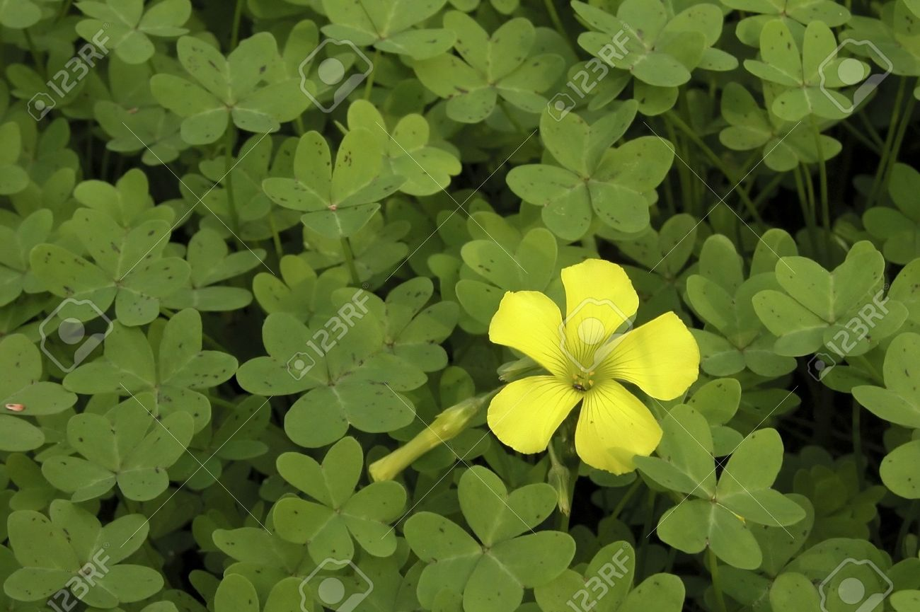 Well Known Yellow Clover Flower Xl77 Roccommunity