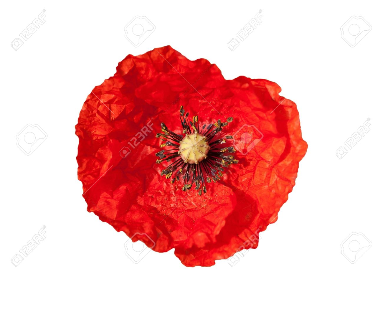 Red poppy flower isolated on a white background Stock Photo - 9375366