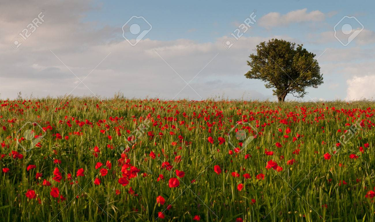 field full of red beautiful poppy anemone flowers and a lonely