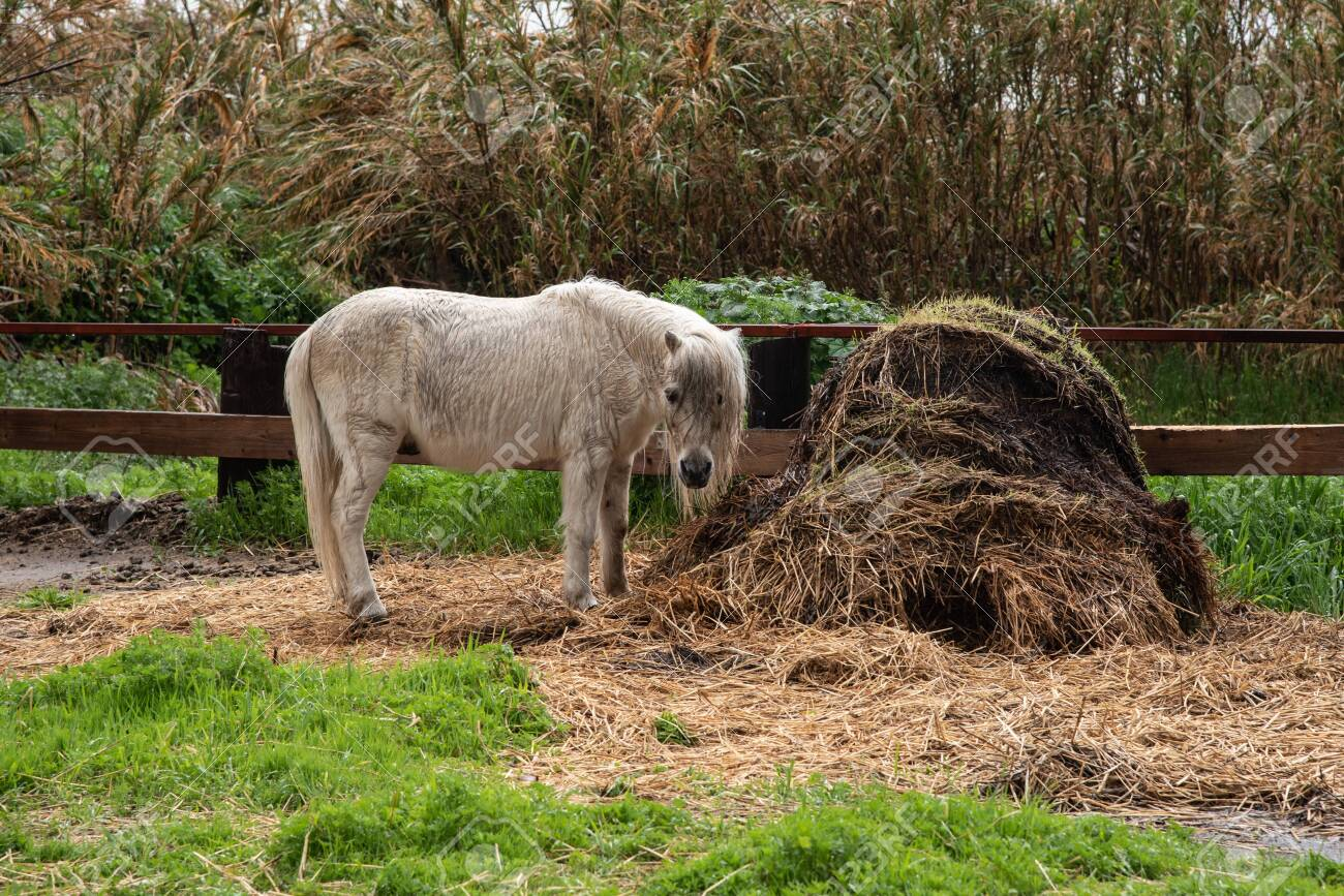 Small Beautiful White Horse Feeding With Dry Grass In A Horse Stock Photo Picture And Royalty Free Image Image 119139674