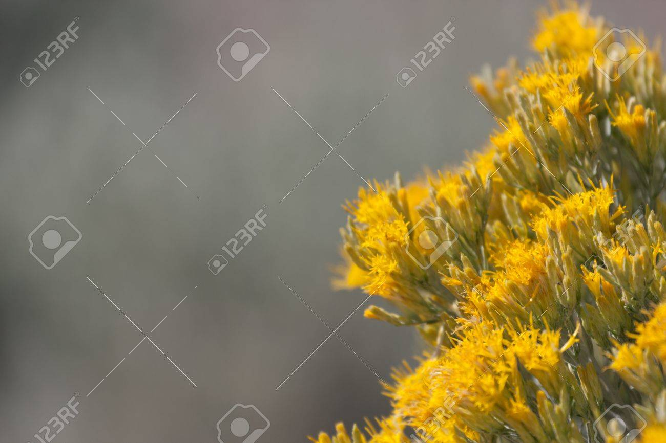 Closeup shot of sagebrush in bloom with half the photo a very out of focus background. Stock Photo - 12393448