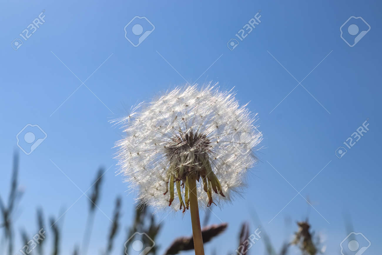 Close up view at a blowball flower against a clear blue sky - 169911297