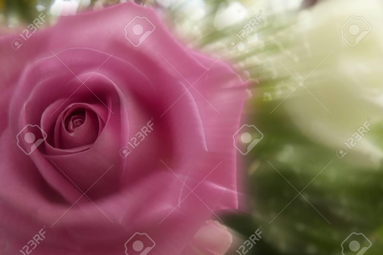 Beautiful pink rose moving fast Stock Photo - 13718488