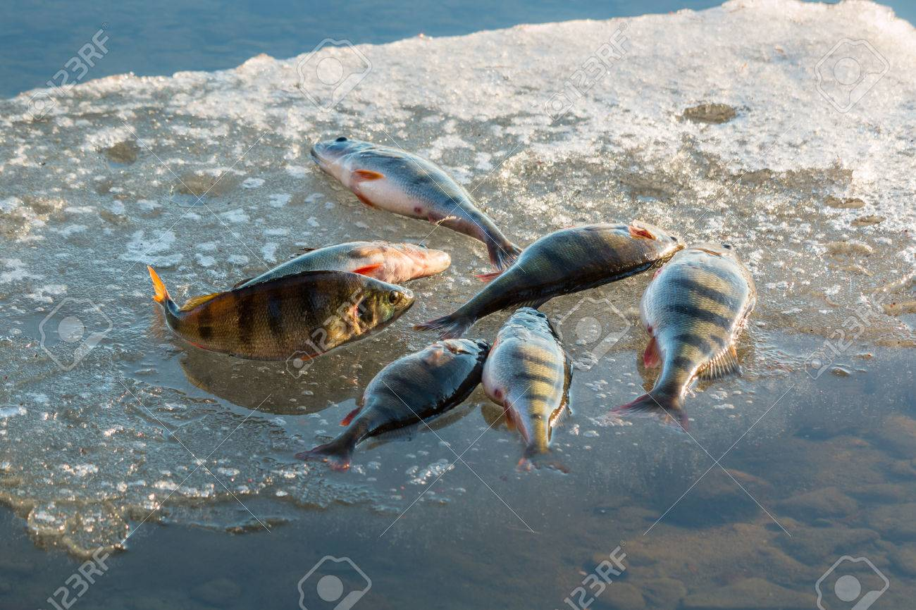 Big perch on ice floe