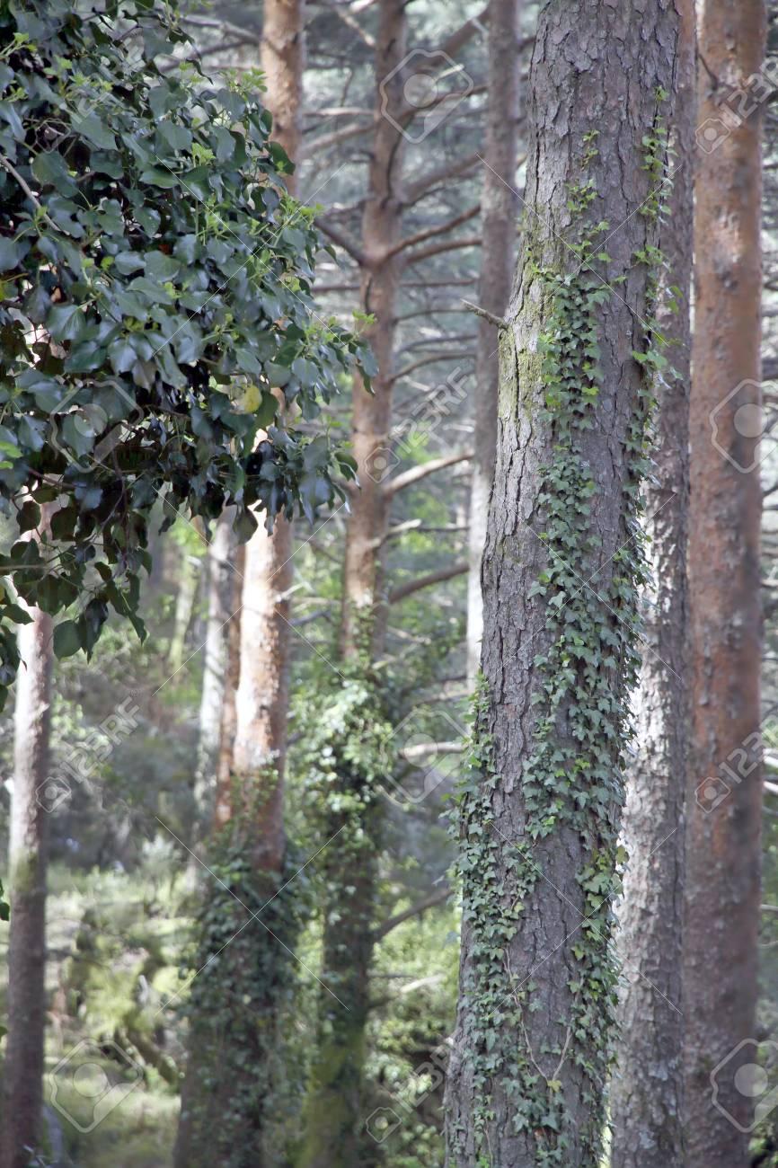 ポルトガル北部の森は、前景にツタの木の幹を登っています。 の写真 ...