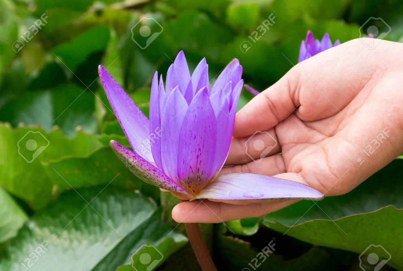 Hand hold purple color lotus flowers on the pond stock photo hand hold purple color lotus flowers on the pond stock photo 68534754 izmirmasajfo Images