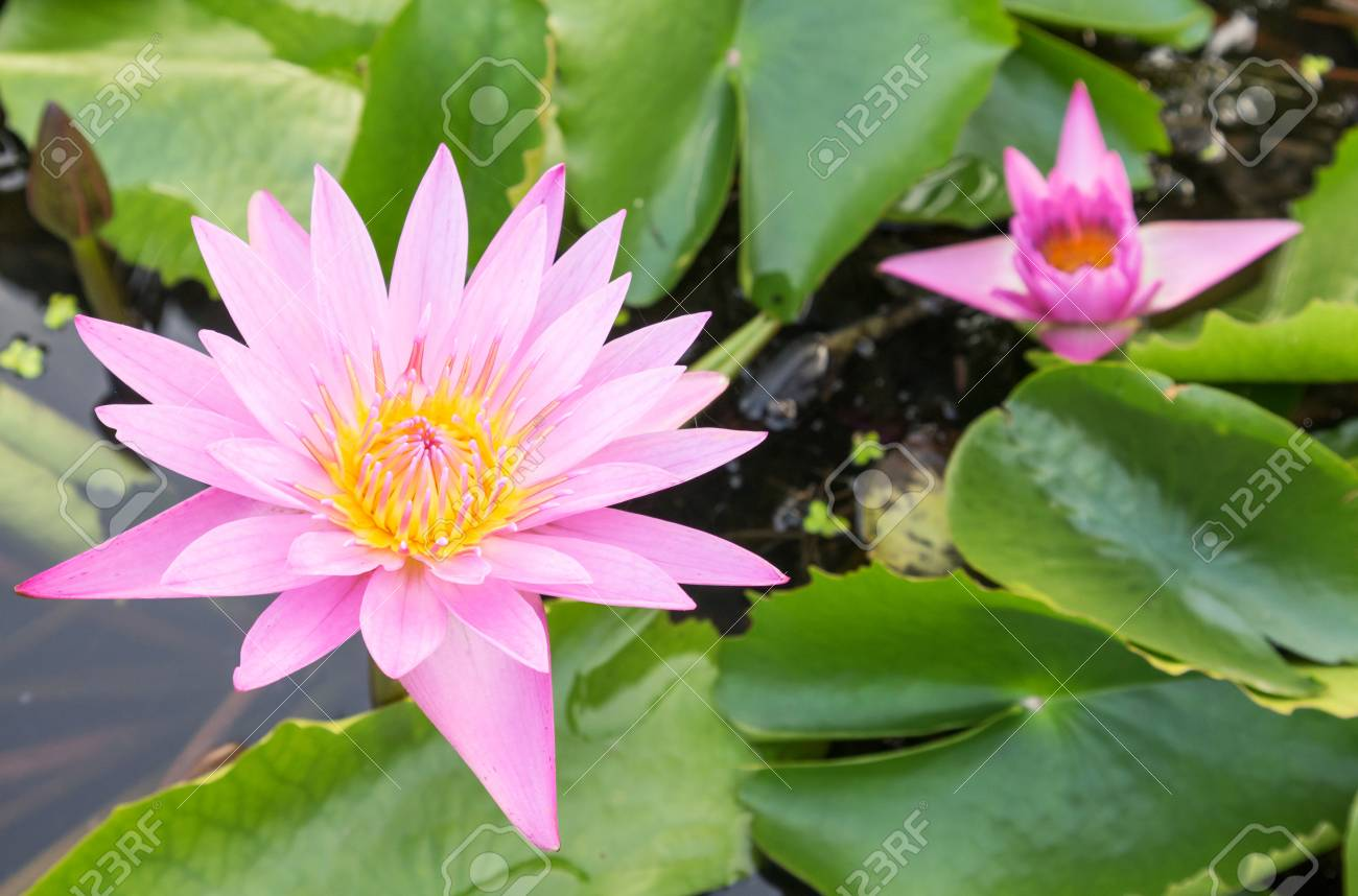 Pink color lotus flowers on the pond stock photo picture and pink color lotus flowers on the pond stock photo 68534018 izmirmasajfo Images