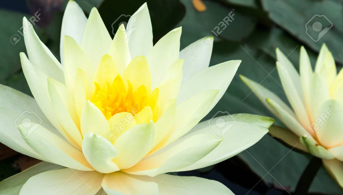 Closeup Of Beautiful Yellow Lotus Flower Stock Photo Picture And