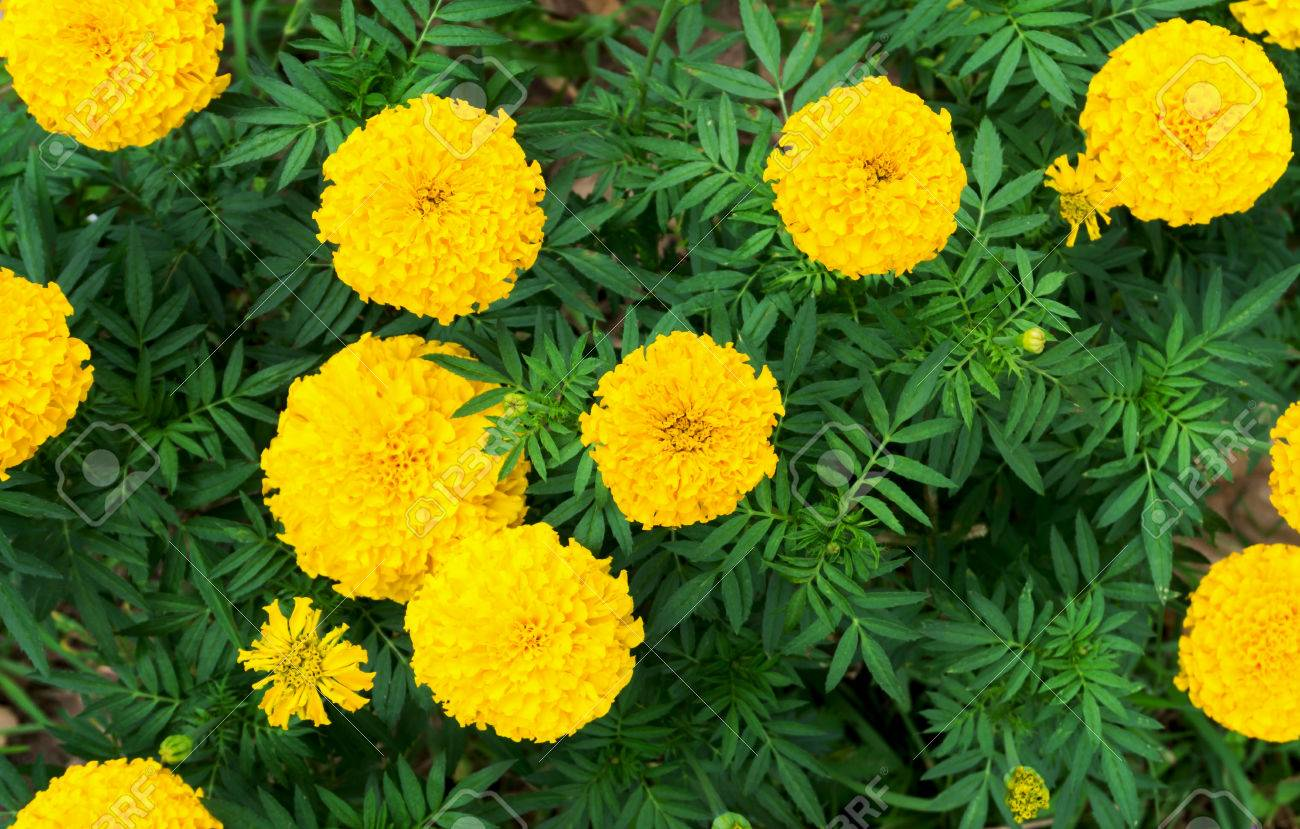 Closeup Top View Yellow Marigold Flowers In Garden Selective